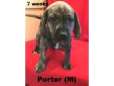 Adopt Dolly II's puppy Porter a Beagle, Plott Hound