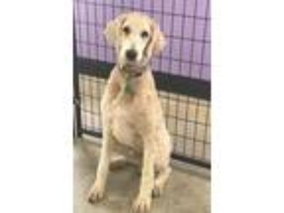 Adopt Chaney a White - with Tan, Yellow or Fawn Goldendoodle / Mixed dog in