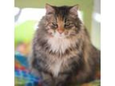 Adopt Muffin a Domestic Long Hair
