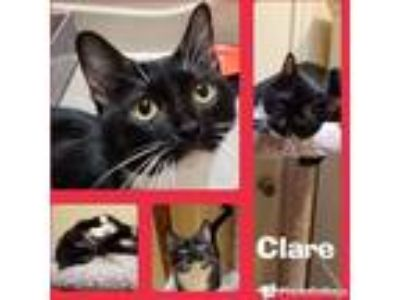 Adopt Clare a Black & White or Tuxedo Domestic Shorthair (short coat) cat in