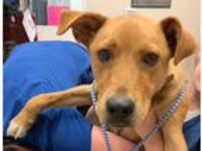Adopt Rufus a Labrador Retriever / Mixed Breed (Medium) / Mixed dog in St.