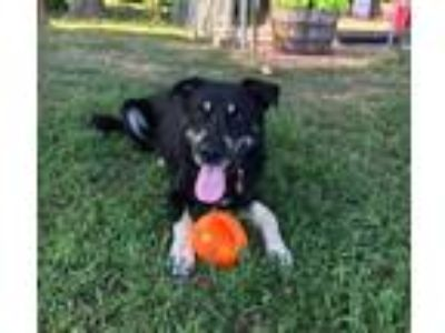 Adopt Ben a Black - with Brown, Red, Golden, Orange or Chestnut Black and Tan