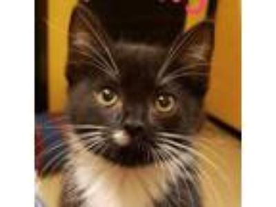 Adopt Philly a All Black Domestic Mediumhair / Domestic Shorthair / Mixed cat in