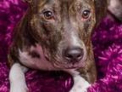Adopt Betty Rue (courtesy listing) a Pit Bull Terrier