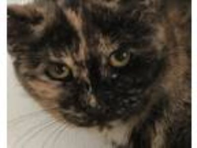 Adopt Spunky a Tortoiseshell Calico (short coat) cat in East Stroudsburg