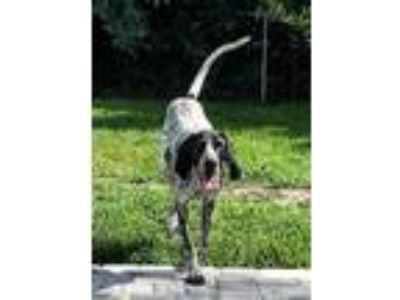 Adopt Fletch a German Shorthaired Pointer, Hound