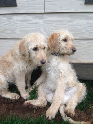 Labradoodle PUPPY FOR SALE ADN-53224 - Four month old puppy born August 6