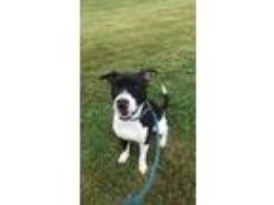 Adopt JERRY a Pit Bull Terrier, Border Collie