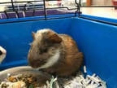 Adopt DUEY a Black Guinea Pig / Mixed small animal in Upland, CA (25556725)