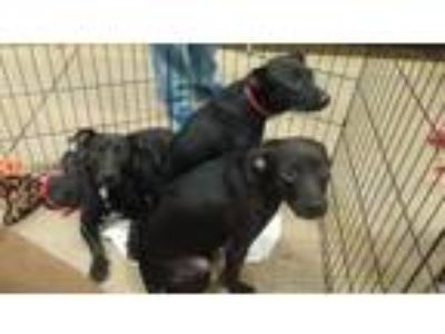 Adopt Short Stack, Shelby, Shotzy and Schultz a Black - with White Labrador