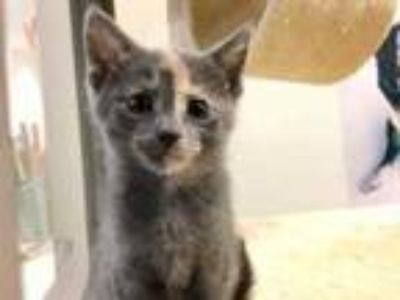 Adopt Reese a Gray or Blue Domestic Shorthair / Domestic Shorthair / Mixed cat