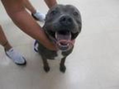 Adopt STRAY HOLD a Pit Bull Terrier