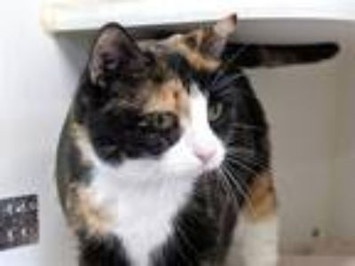 Adopt America a Domestic Shorthair / Mixed cat in New York, NY (25854865)