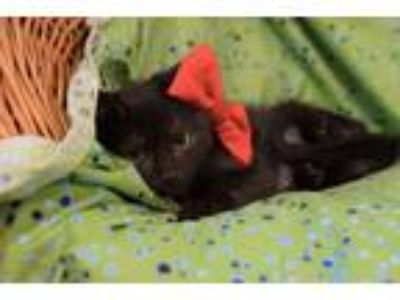 Adopt Granite a All Black Domestic Shorthair / Mixed cat in Westmont