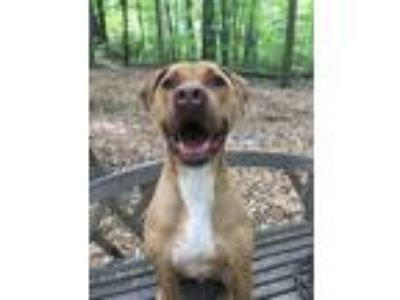 Adopt Ecko a Tan/Yellow/Fawn - with White Great Dane / Terrier (Unknown Type