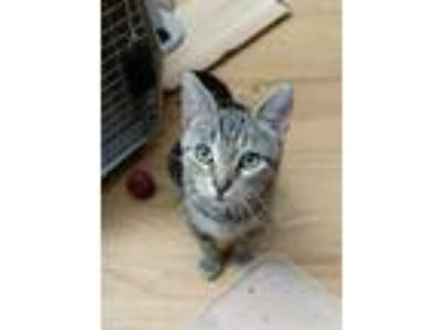 Adopt Tabitha a Domestic Short Hair, Tabby