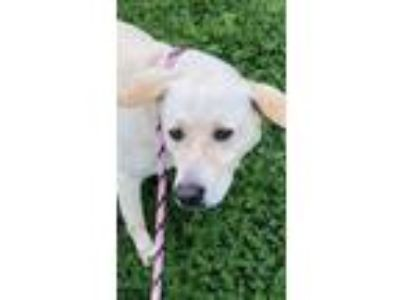 Adopt Titanic/Ty a White Anatolian Shepherd / Mixed dog in Kaufman