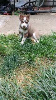 Siberian Husky PUPPY FOR SALE ADN-93348 - Husky Puppies