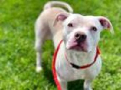 Adopt Rabbit a White American Pit Bull Terrier / Mixed dog in Kansas City
