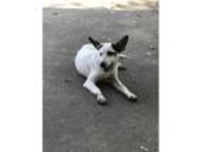 Adopt Lucky a White - with Black Blue Heeler / Terrier (Unknown Type