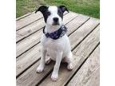 Adopt Sasha a Black - with White American Staffordshire Terrier / Jack Russell
