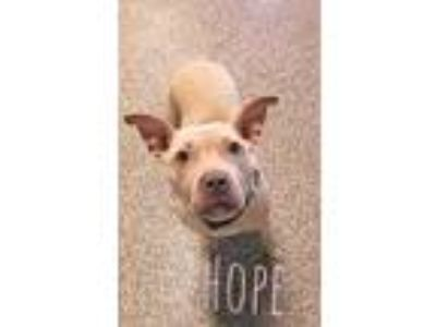 Adopt Hope a Tan/Yellow/Fawn American Pit Bull Terrier / Mixed dog in Kansas