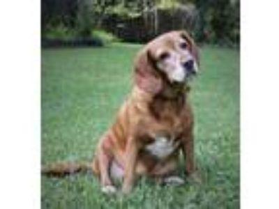 Adopt AJ a Beagle