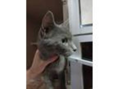Adopt Maple a Gray or Blue Domestic Shorthair / Domestic Shorthair / Mixed cat