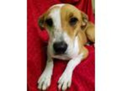 Adopt Valentine a Brown/Chocolate - with White Labrador Retriever / Mixed dog in