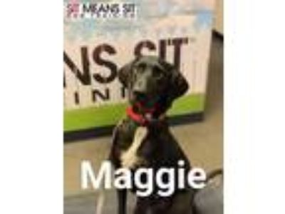 Adopt Maggie a Great Dane