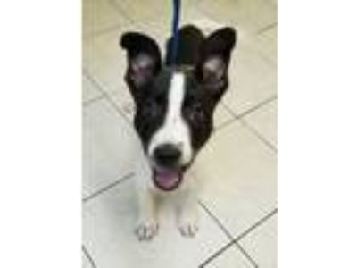 Adopt Paige a Pit Bull Terrier, Collie