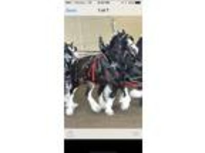 Clydesdale Black