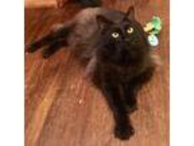 Adopt Denver a All Black Domestic Longhair (long coat) cat in San Francisco