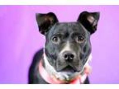 Adopt Lavender a Black American Pit Bull Terrier / Mixed dog in Louisville