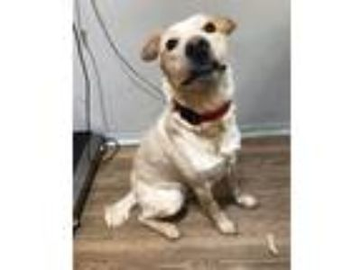 Adopt Sammy a Australian Cattle Dog / Blue Heeler