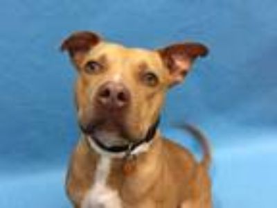 Adopt Ranger a Tan/Yellow/Fawn American Pit Bull Terrier / Mixed dog in