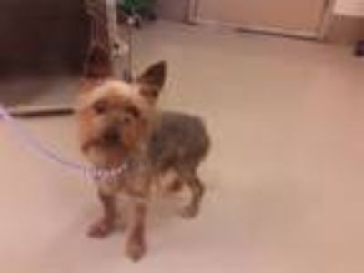 Adopt A795266 a Yorkshire Terrier