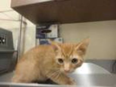 Adopt Wampus a Orange or Red Domestic Shorthair / Domestic Shorthair / Mixed cat