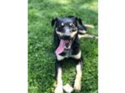 Adopt Rocket a Black - with Tan, Yellow or Fawn Cattle Dog / Mixed Breed