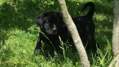 Labrador Retriever PUPPY FOR SALE ADN-81106 - AKC Lab Puppies Champion Blood Lines Only 3 Left