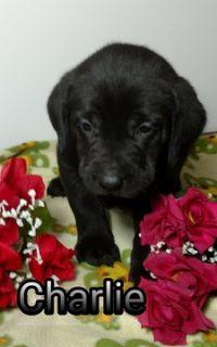 English Labrador Dogs For Adoption Classified Ads Clazorg