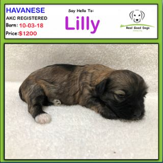 Havanese PUPPY FOR SALE ADN-102740 - Lilly