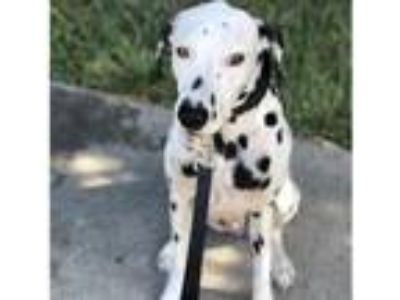 Adopt Clyde a White - with Black Dalmatian / Mixed dog in Miami, FL (25802526)