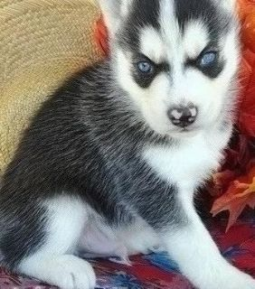 Affable Siberian husky Puppies