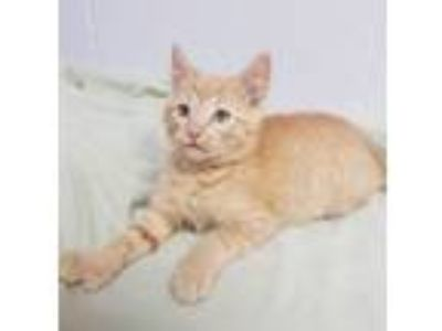 Adopt Ellis a Domestic Short Hair