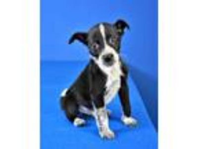 Adopt Whopper a Black Australian Cattle Dog / Mixed dog in Cabot, AR (25877163)