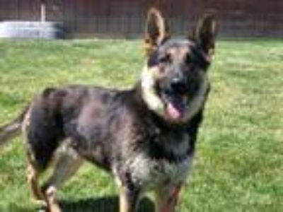 Adopt Nala a Black German Shepherd Dog / Mixed dog in Caldwell, ID (25896090)