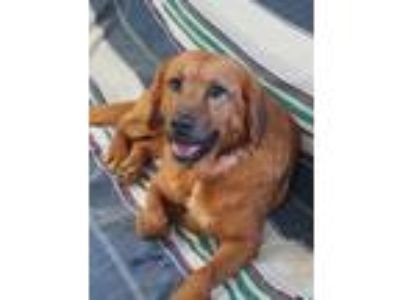 Adopt Kelsey a Red/Golden/Orange/Chestnut Golden Retriever / Retriever (Unknown