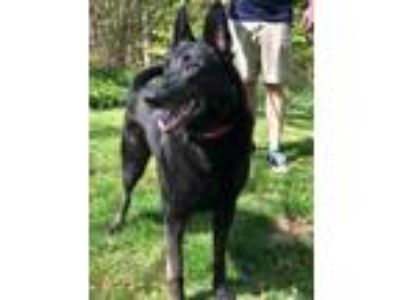 Adopt Black Beauty (Stray) a German Shepherd Dog