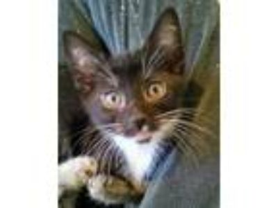 Adopt Selix a Black & White or Tuxedo Domestic Shorthair (short coat) cat in